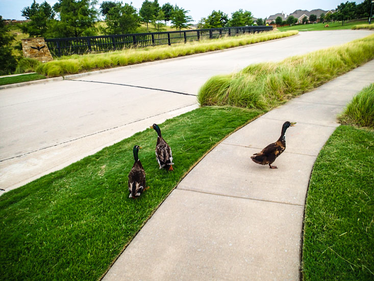 """Audra calls them """"the guys."""" There's one female duck that hangs out with them from time to time."""